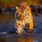 Tiger _______ on My World.